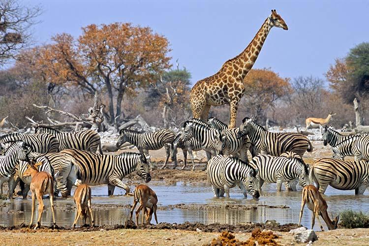 Ta med safaridjuren hem!